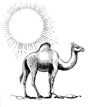 Ink black and white drawing of a camel in a desert