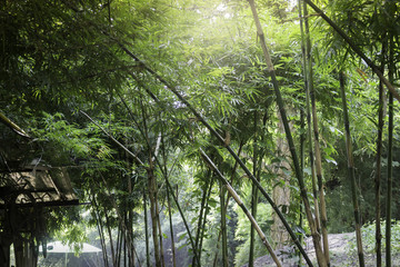 Bamboo forest in tropical weather Thailand