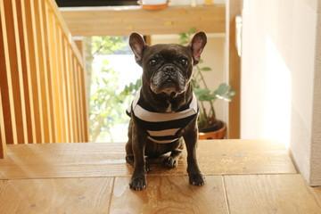 In de dag Franse bulldog フレンチブルドッグ