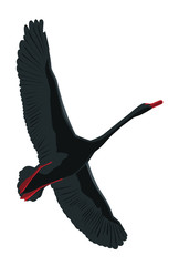 A flying black swan. Vector, isolated on white background