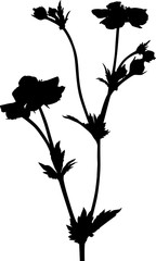 isolated black garden flower with blooms and buds