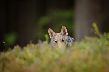 Hidden wolf in high grass inside forest