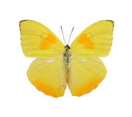 Yellow butterfly close up