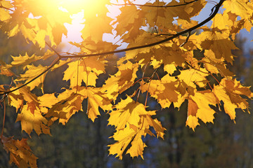Autumn maple leaves. Autumn background of leaves. The sun and autumn