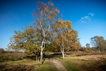 Silver birch in nature