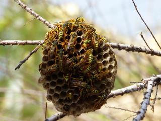 Avispero refugio de avispas en España
