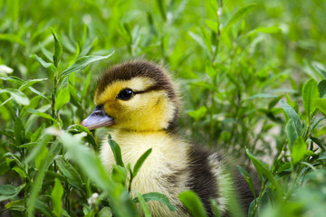 Duckling of a musky duck, Indo-duck on walk in a grass.