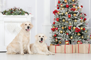 two golden retriever dogs posing indoors for Christmas