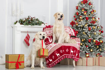 two adorable golden retriever dogs posing indoors by a Christmas tree