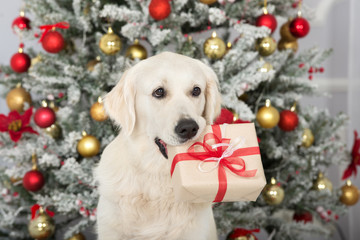 happy dog holding a Christmas gift box in her mouth