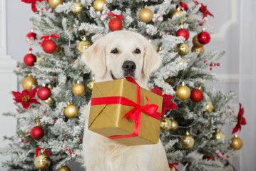 golden retriever dog holding a christmas gift box in her mouth