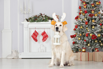 funny dog in antlers holding a lantern for Christmas
