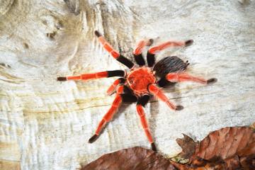 Birdeater tarantula spider Brachypelma boehmei in natural forest environment. Bright red colourful giant arachnid.