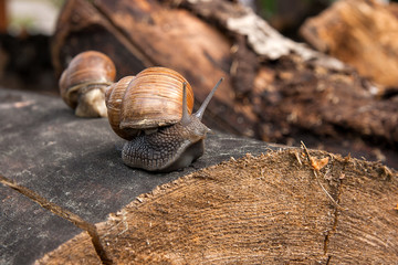 Close up view of Burgundy snail (Helix, Roman snail, edible snail, escargot) crawling on the trunk of old pine tree. .