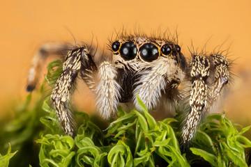 focus stacking jumping spider zebra back spider spider salticus scenicus salticidae