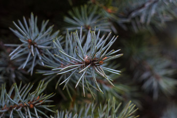 Green fluffy fir tree brunch close up