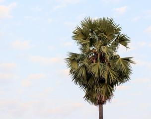 sugar palm tree alone or single on sky.