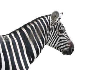 Zebra, freistehend vor weißem Hintergrund