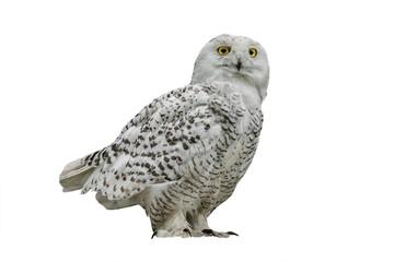 Zelfklevend Fotobehang Uil owl (Nyctea scandiaca)