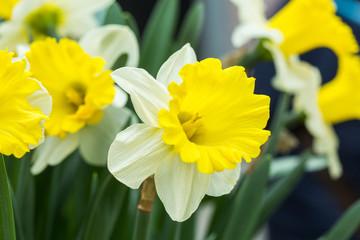 Photo sur Plexiglas Narcisse Narcissus flower. White and yellow