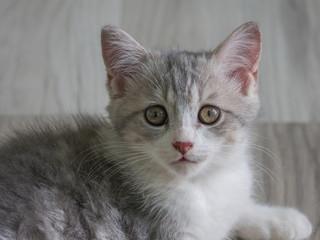 Closeup portrait of Scottish cat