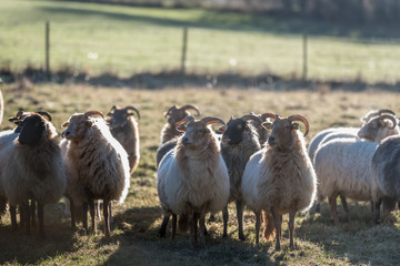Herd of Heidschnucke sheep with impressive horns in sunlight, standing together on a pasture or meadow