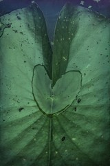 Lily pad with heart-shaped waterdrop