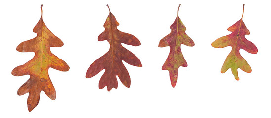 Four Oak Leaves on a White Background
