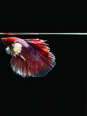 Siamese fighting fish, Betta splendens,,biting fish. Red white and  blue tail. Fighting motion isolated on black
