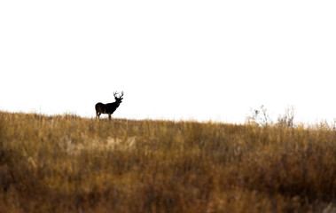 A White-tailed Deer Silhouette on the Horizon
