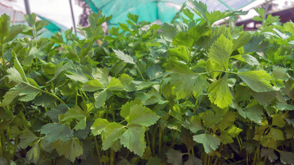 Vegetable hydroponics coriander