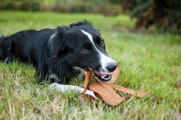 Black and White Dog Lying on Green Grass and Gnawing a Stick with Yellow Leaf Outdoors During Autumn Day.