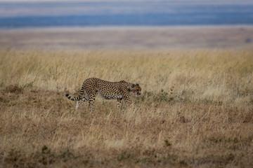 Gepard - Acinonyx jubatus