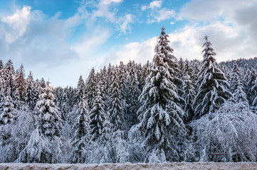 snow covered spruce forest in winter. amazing nature scenery with gorgeous evening sky