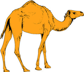 camel drawn in ink by hand in full growth on a white background