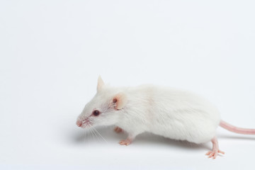 white laboratory mouse close-up isolated on white background