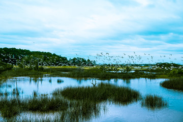 flock of birds fly over south carolina low country marsh on cloudy day Wall mural