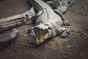 Closeup of an alligator with its mouth open