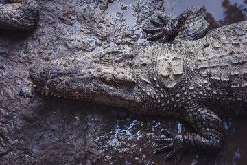 Top view of the head of an alligator