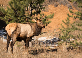 Bull elk with large antlers standing in morning sun in Colorado Rocky Mountains