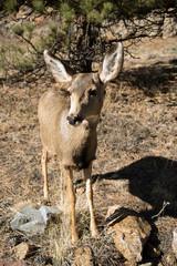Mule Deer Doe Closeup