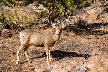 Mule Deer Doe walking across grassy meadow in Colorado Rocky Mountains