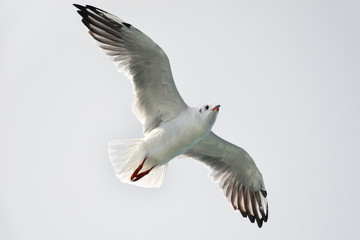 Seagull in flight isolated on white background, bottom view