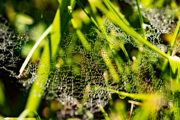 Beautiful Cobwebs With Drops Water From Morning Dew In Green Grass Outdoor. Close Up.