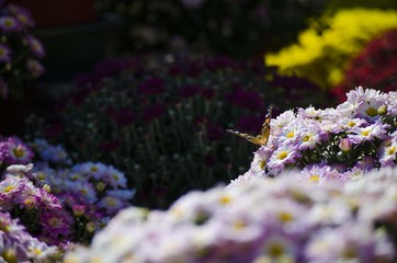 Butterfly on mums, shows flower in blossom.  Great garden plant for fall, with simple lavender beauty.