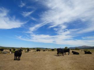 Toros de lidia , toro bravo en campo de Salamanca, España