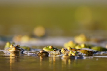 Group of common frogs (Rana temporaria) in water on a beautiful background