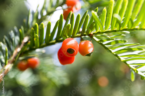 taxus baccata european yew with poisonous red ripened berry fruits