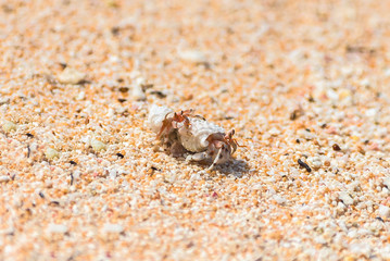 Two hermit crab fighting on the sand on an atoll, French Polynesia
