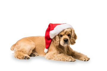 American cocker spaniel with Santa's cap lyingon in front of white background, studio shot. Look at the camera.